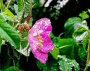 wild rose after rain by Windy Angels